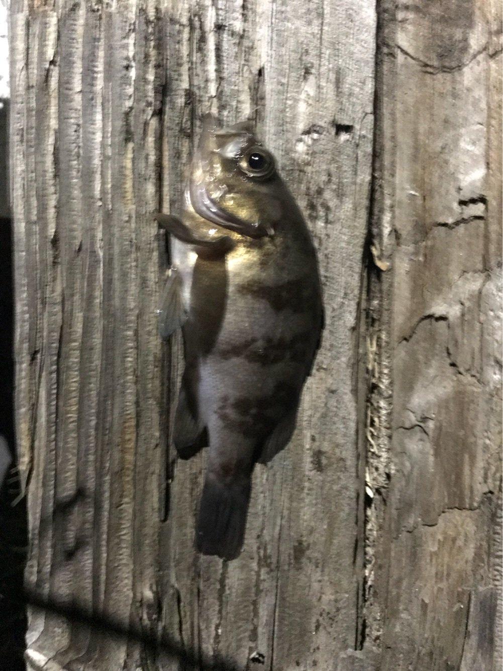 tyuki さんの投稿画像,写っている魚はメバル