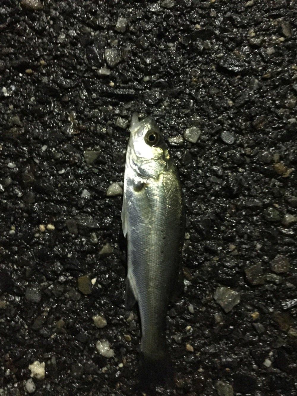 Fukutaさんの投稿画像,写っている魚はスズキ