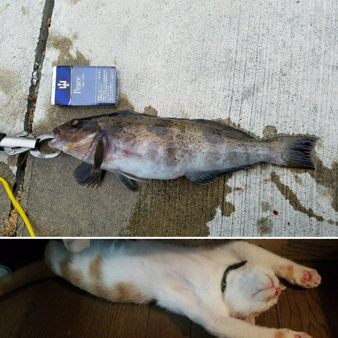 りゅーじさんの投稿画像,写っている魚はアイナメ