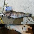りゅーじさんの宮城県黒川郡でのアイナメの釣果写真