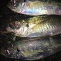 ノリさんの京都府与謝郡での釣果写真
