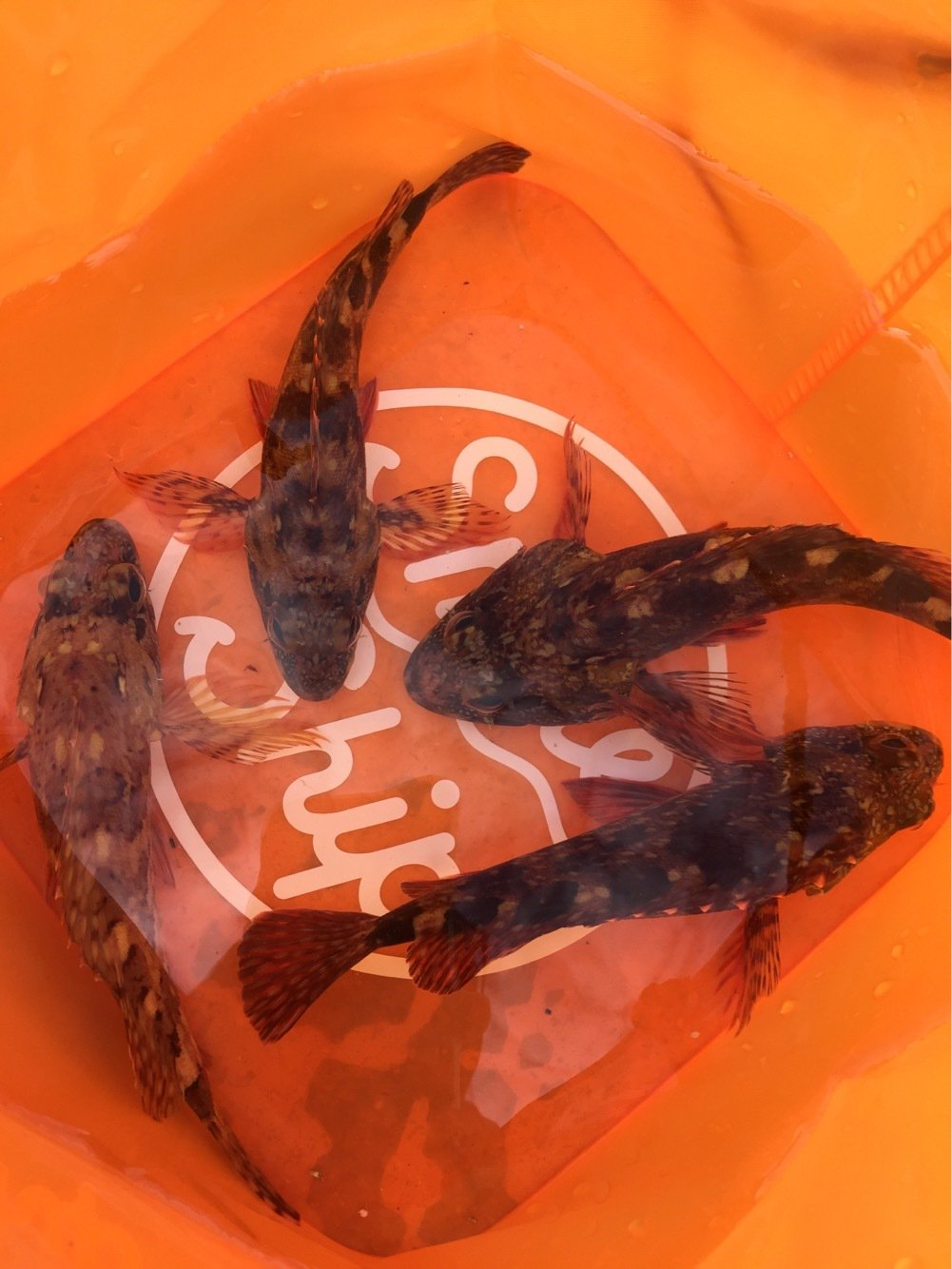 KeyMさんの投稿画像,写っている魚はアカカサゴ