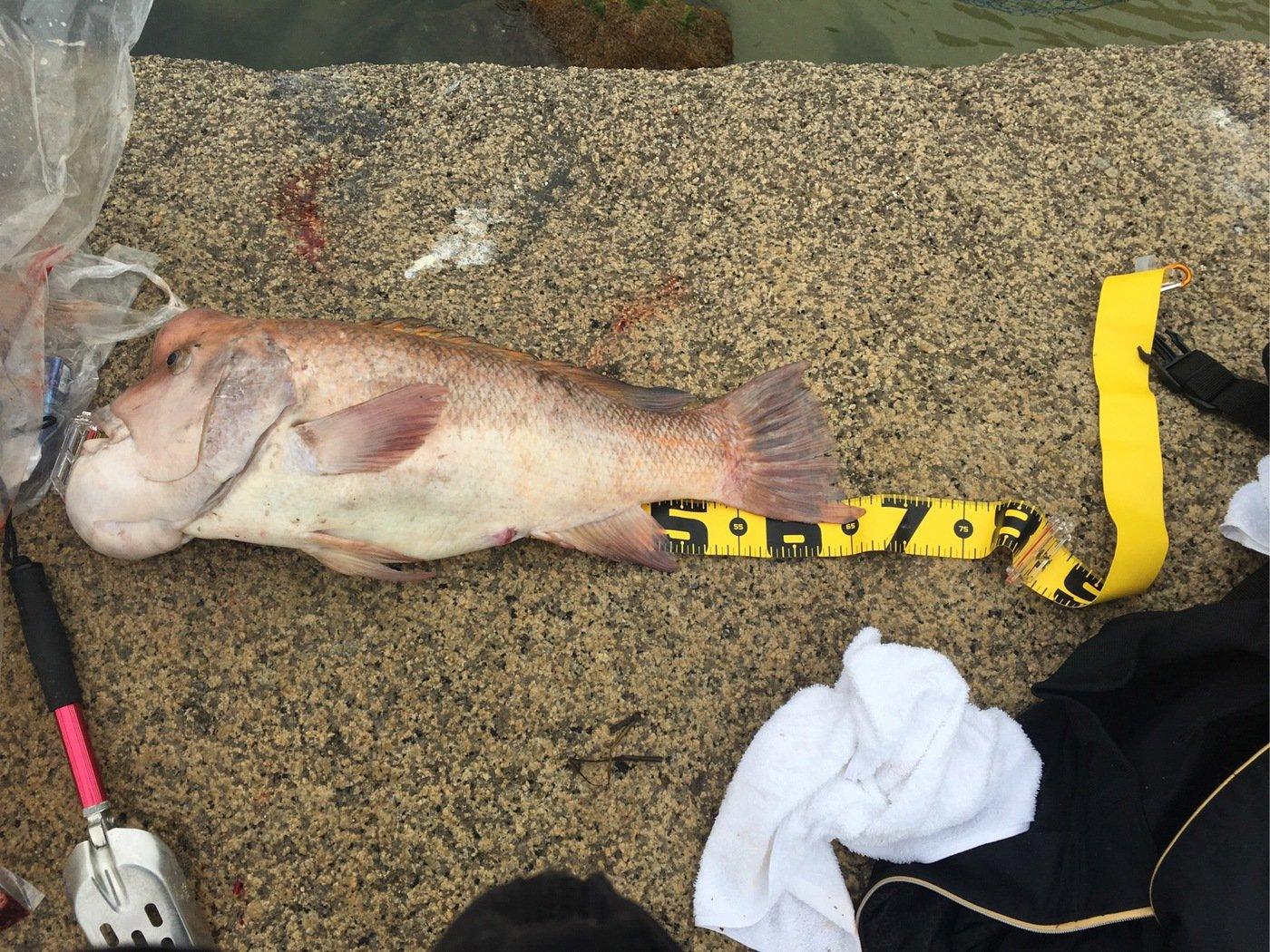 大胖子さんの投稿画像,写っている魚はコブダイ