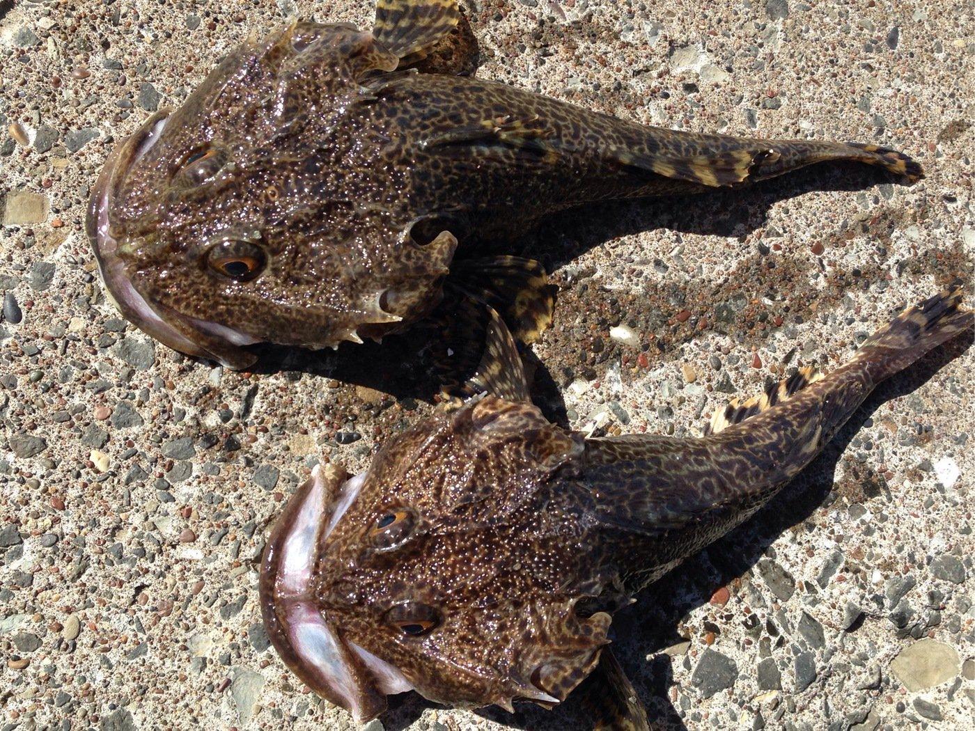 釣り馬鹿さんの投稿画像,写っている魚はアイカジカ