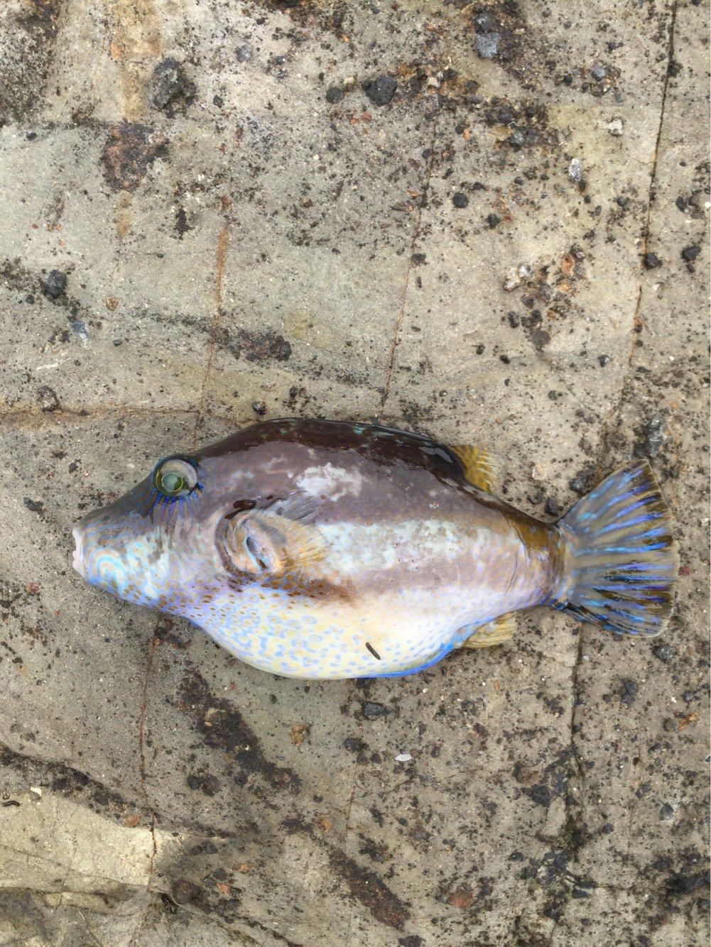 shun Todaさんの投稿画像,写っている魚はキタマクラ
