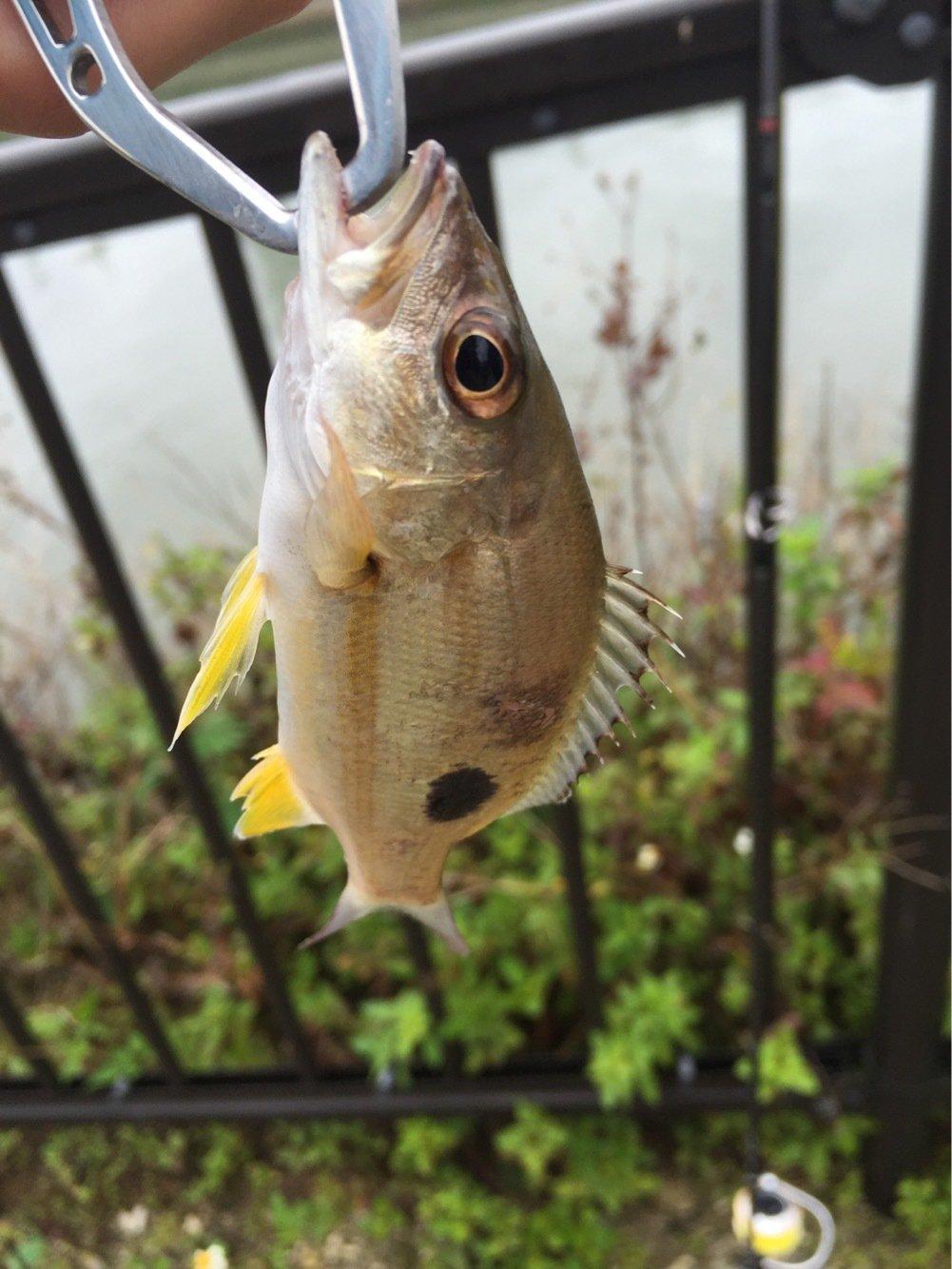 からあげおいしいさんの投稿画像,写っている魚はヨコフエダイ