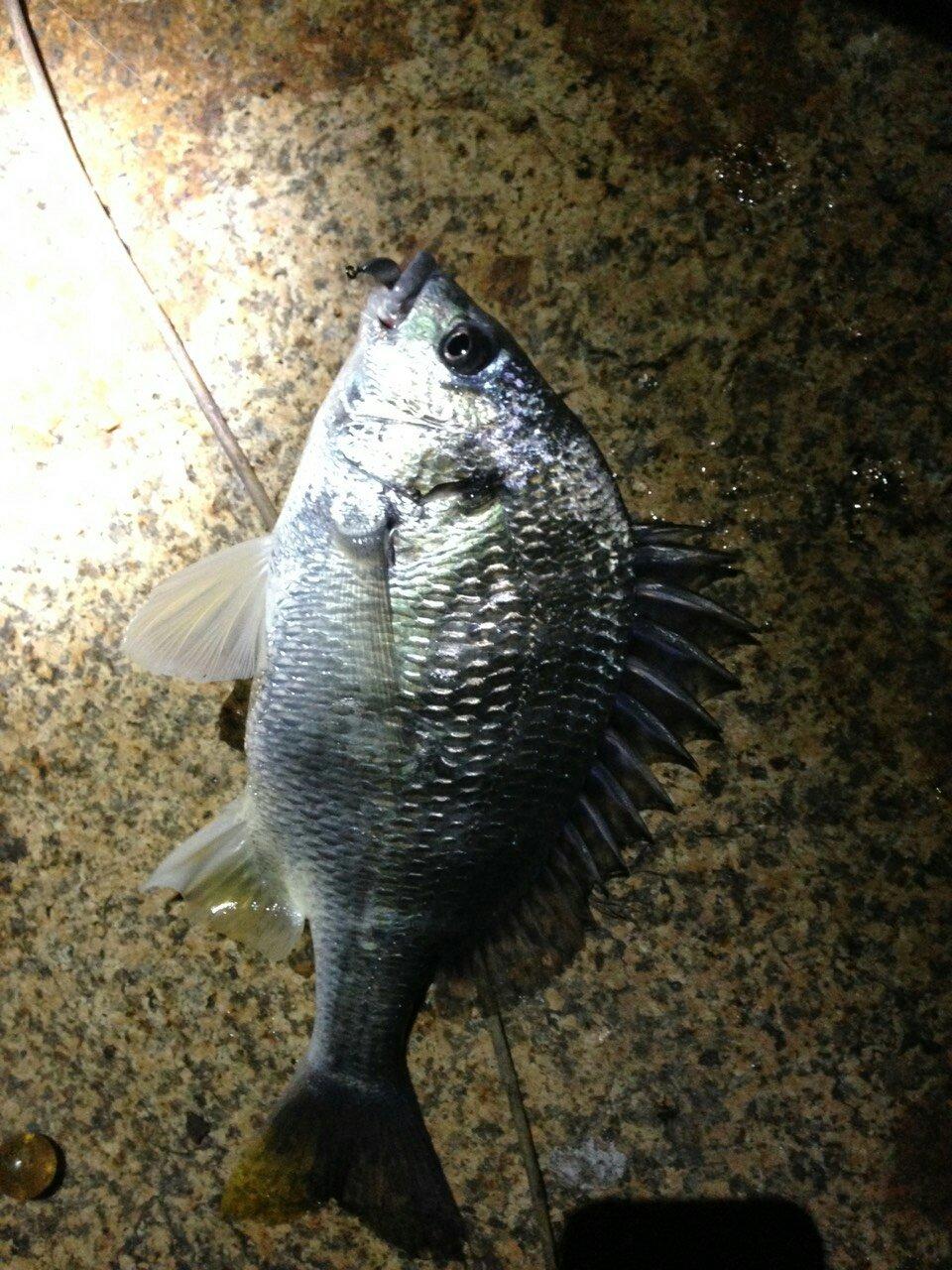 よしさんの投稿画像,写っている魚はキチヌ