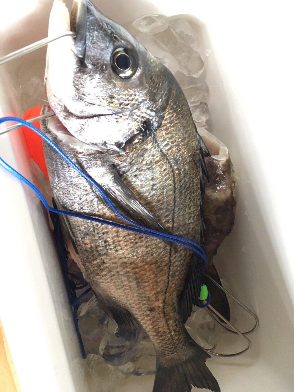 sakaさんの投稿画像,写っている魚はクロダイ