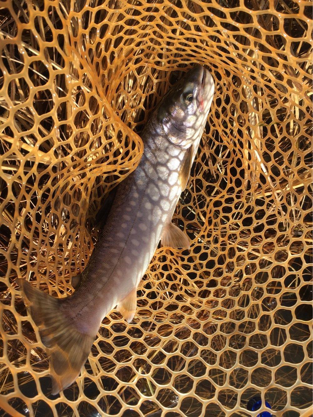 釣り馬鹿さんの投稿画像,写っている魚はアメマス