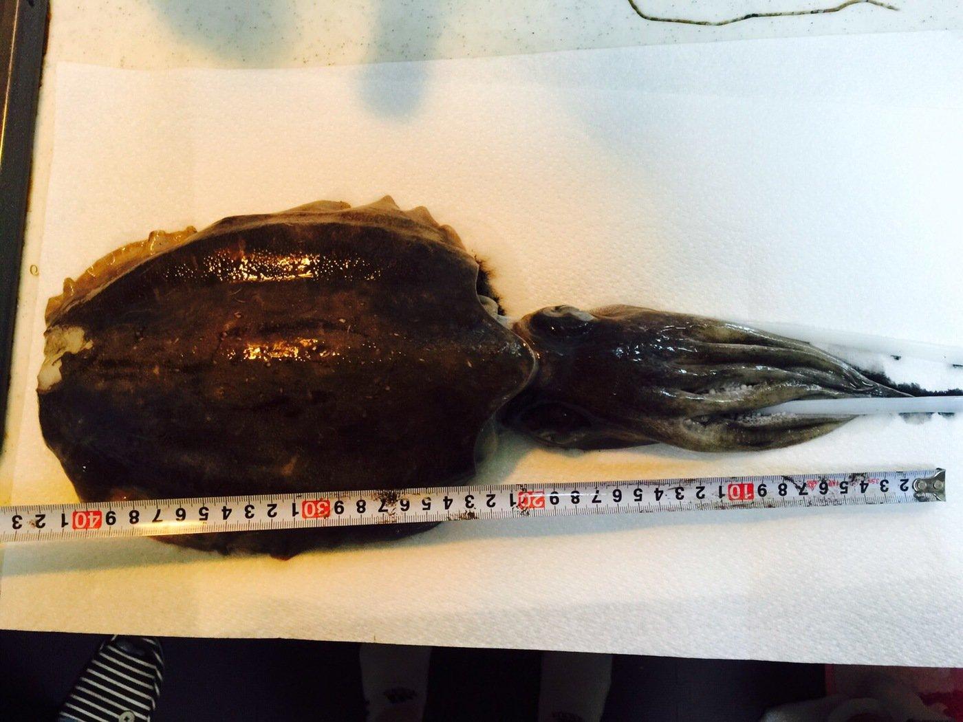颯斗さんの投稿画像,写っている魚はコウイカ