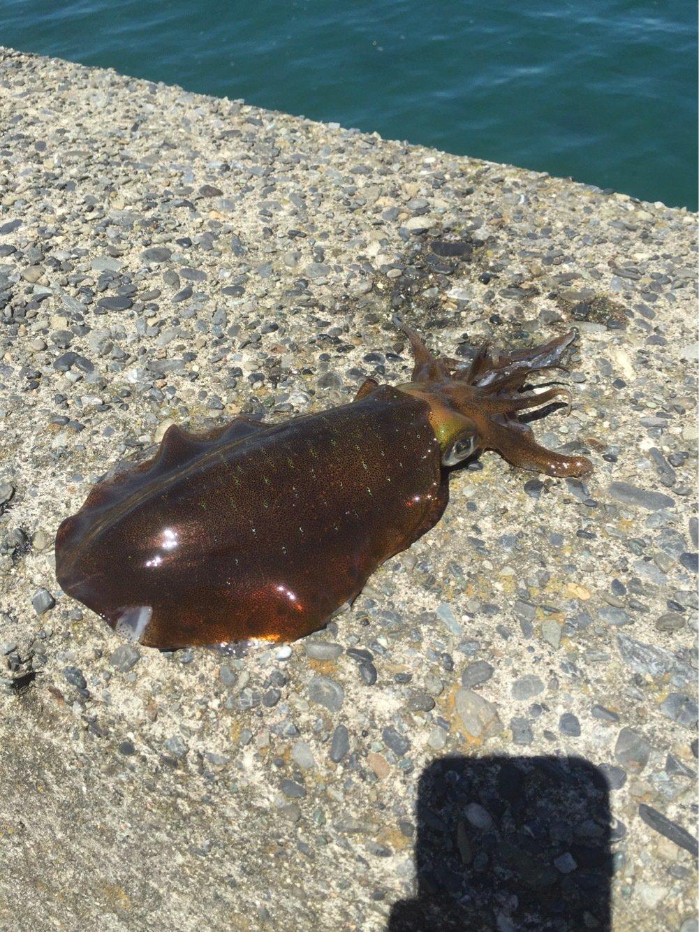 エメラルダス92さんの投稿画像,写っている魚はアオリイカ