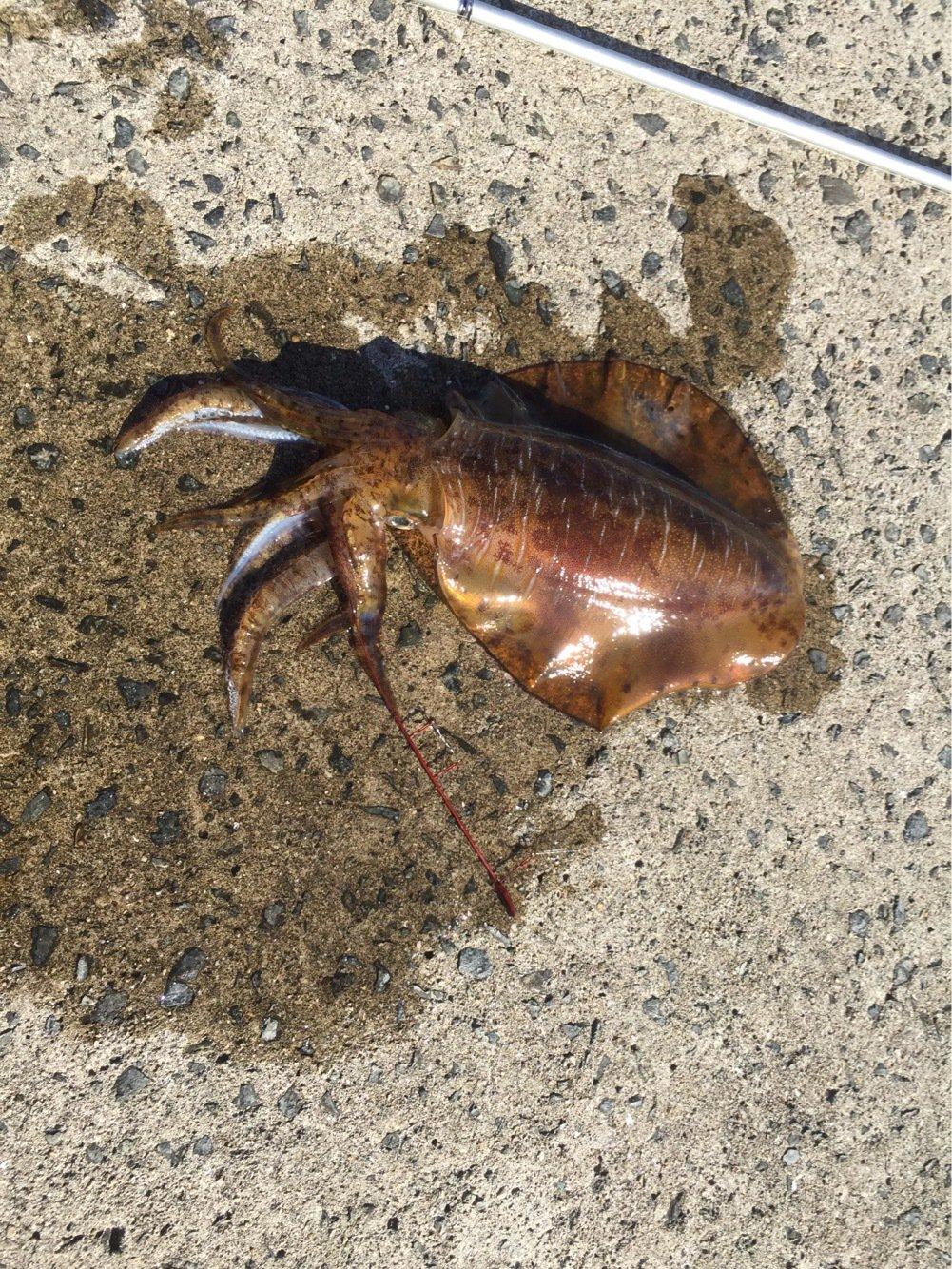 げんきさんの投稿画像,写っている魚はアオリイカ