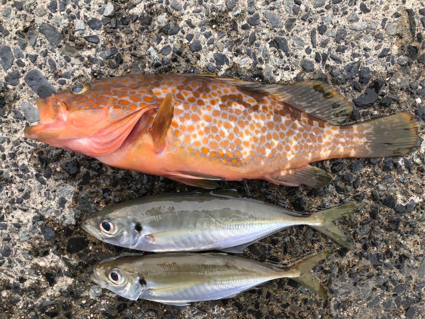 ハッチさんの投稿画像,写っている魚はキジハタ,アジ