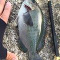 MASAさんの千葉県君津市での釣果写真