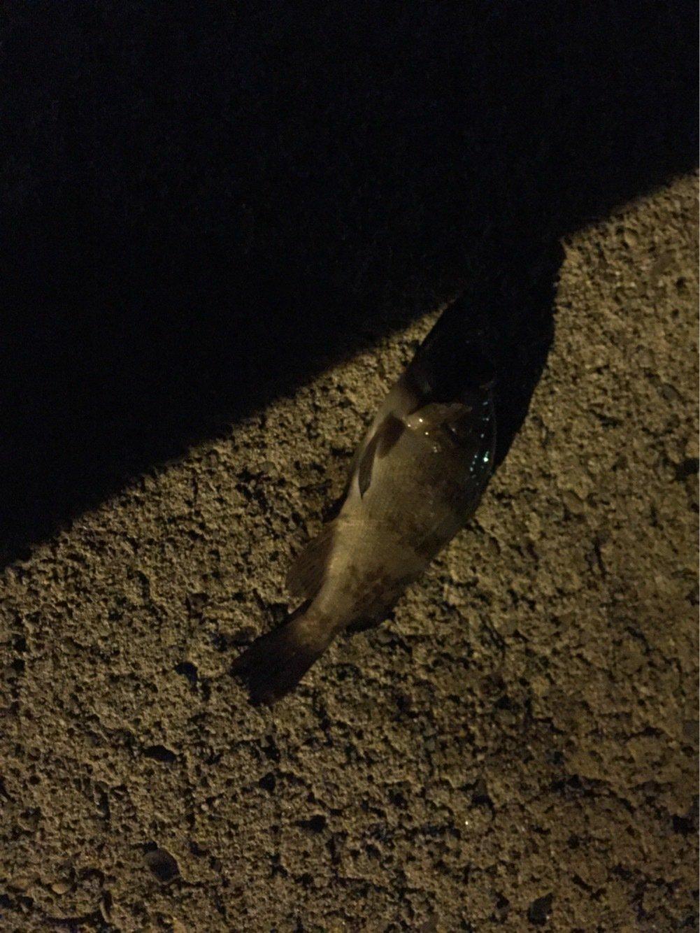 さすらいスティンキーさんの投稿画像,写っている魚はメバル