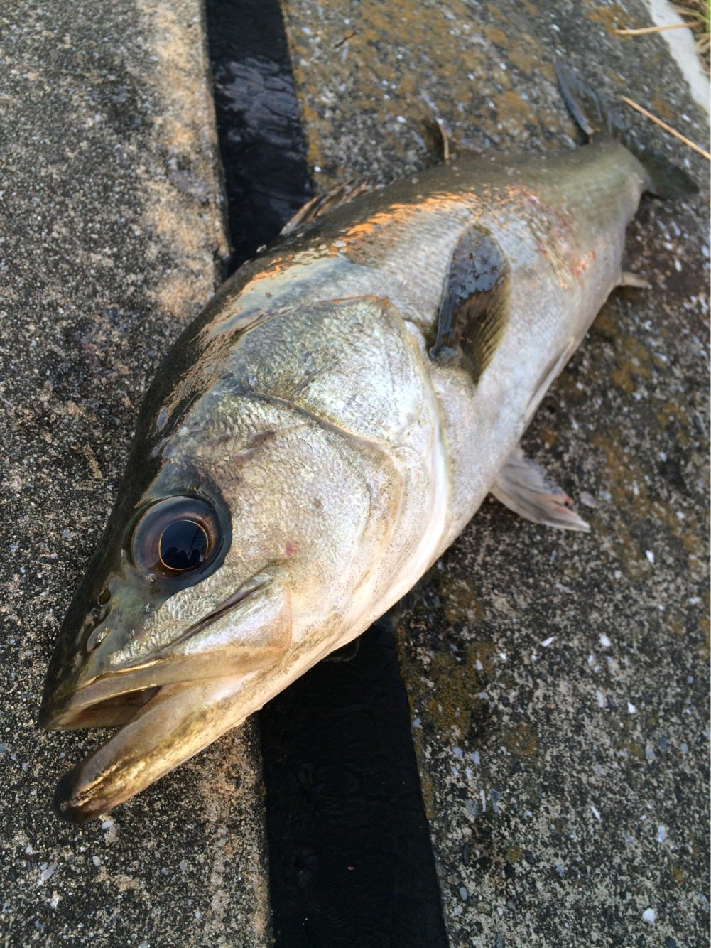 geluseaさんの投稿画像,写っている魚はスズキ
