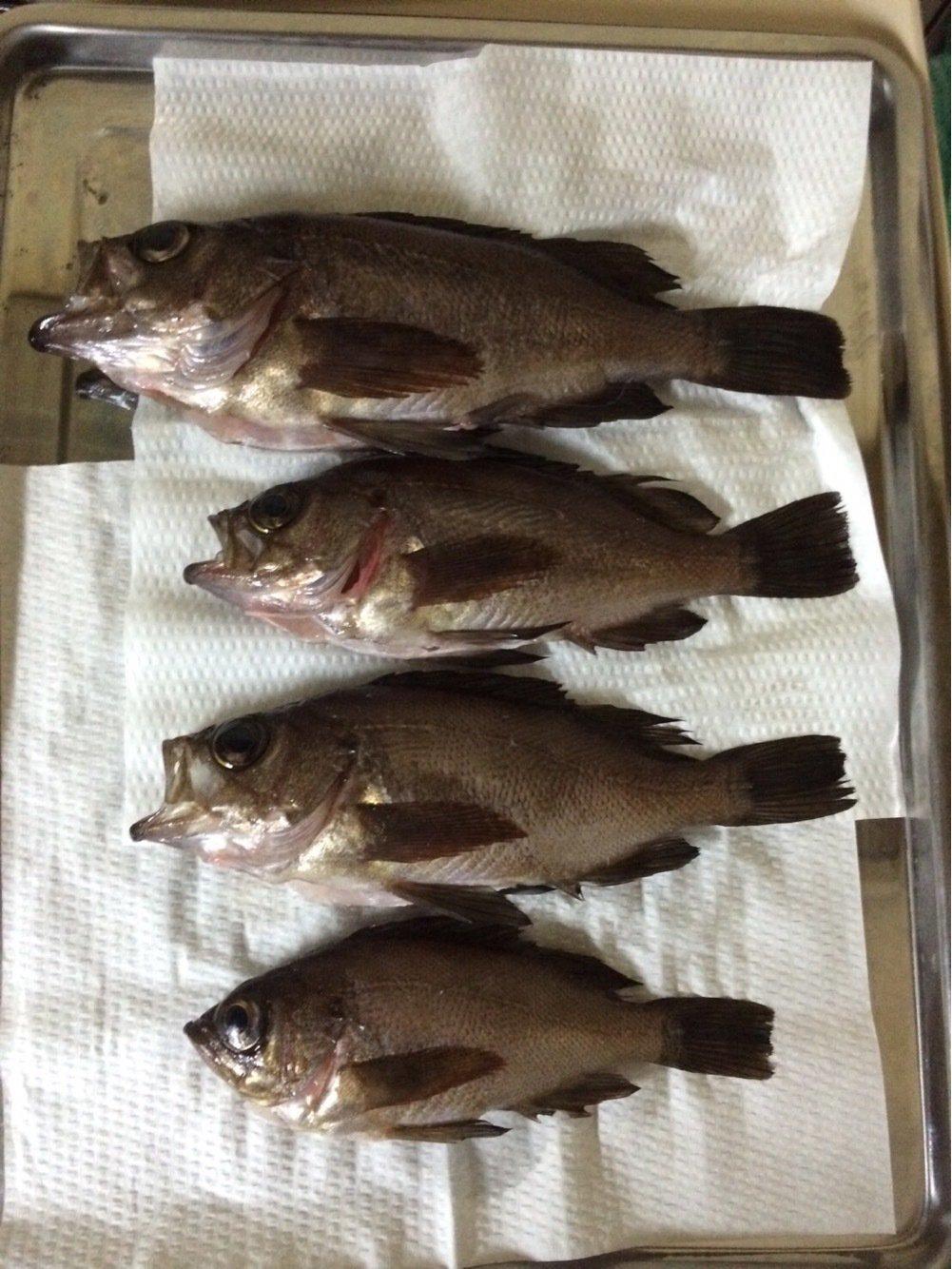 水戸 優典さんの投稿画像,写っている魚は