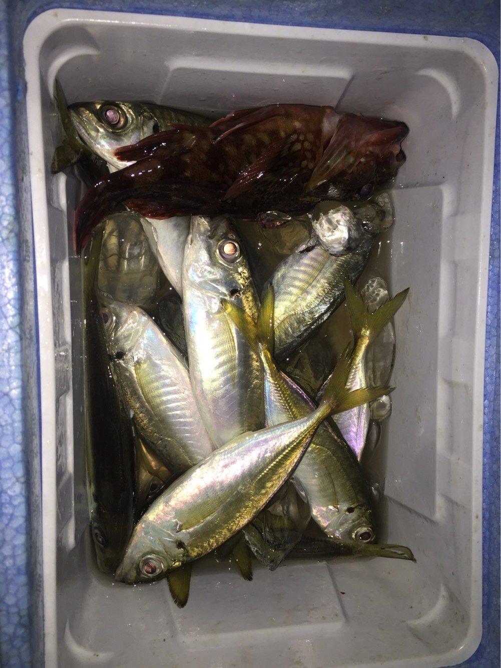 水戸 優典さんの投稿画像,写っている魚はアジ