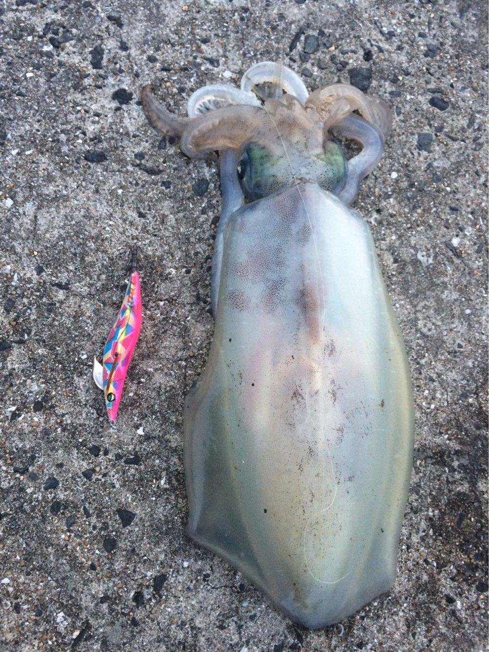 EMERALDASさんの投稿画像,写っている魚はアオリイカ