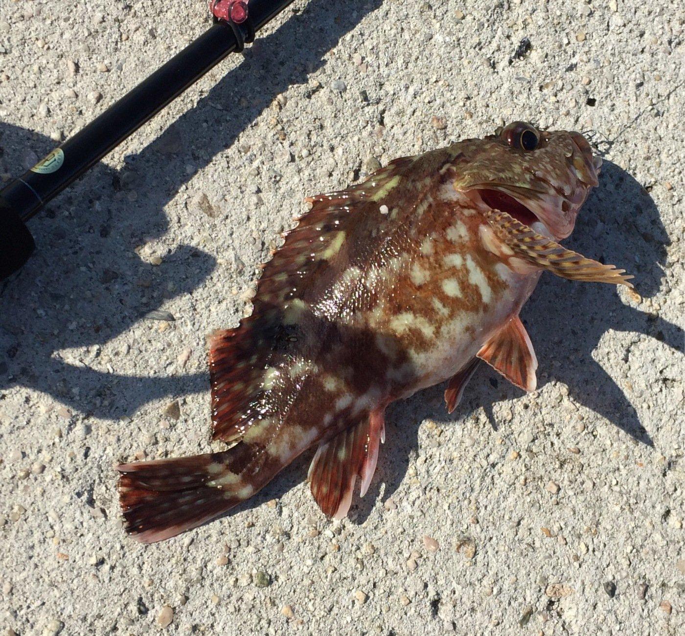さすらいスティンキーさんの投稿画像,写っている魚はカサゴ