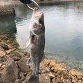 嶋津 堪太さんの福岡県行橋市でのスズキの釣果写真