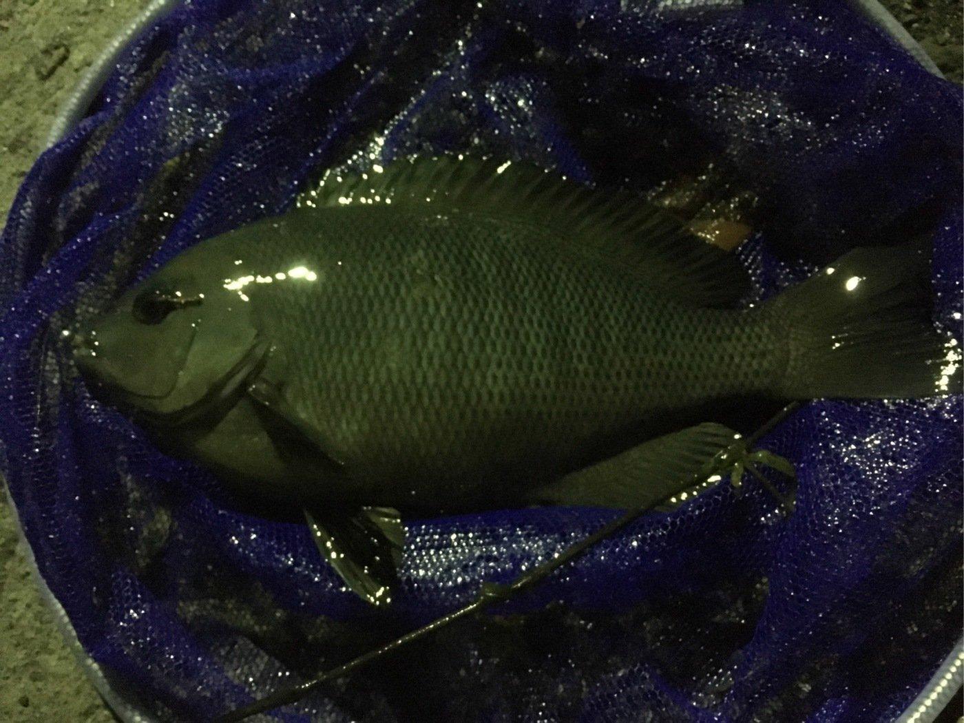 Ryoさんの投稿画像,写っている魚はメジナ