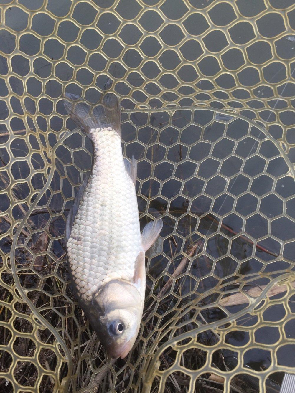 ボリオさんの投稿画像,写っている魚はギンブナ