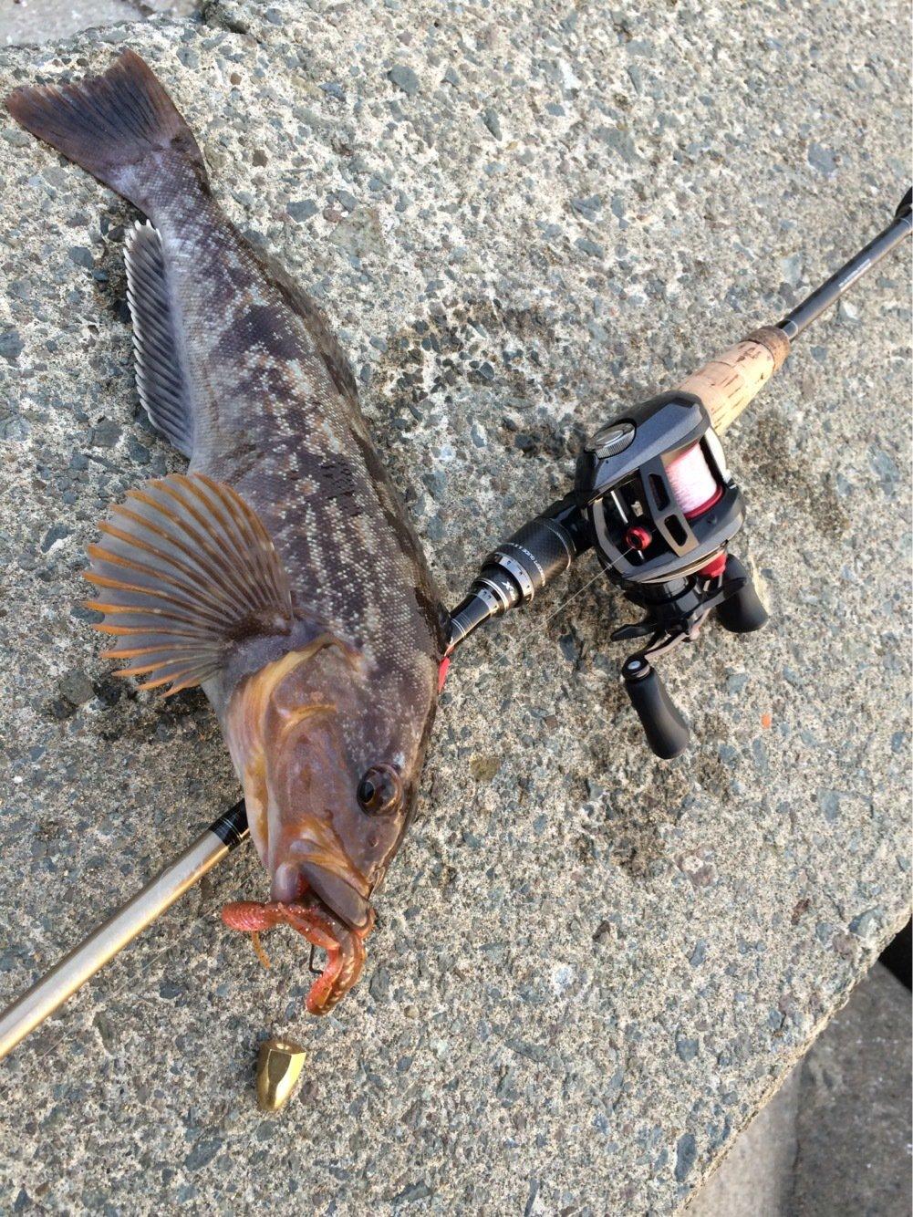 ささきょんさんの投稿画像,写っている魚はアイナメ