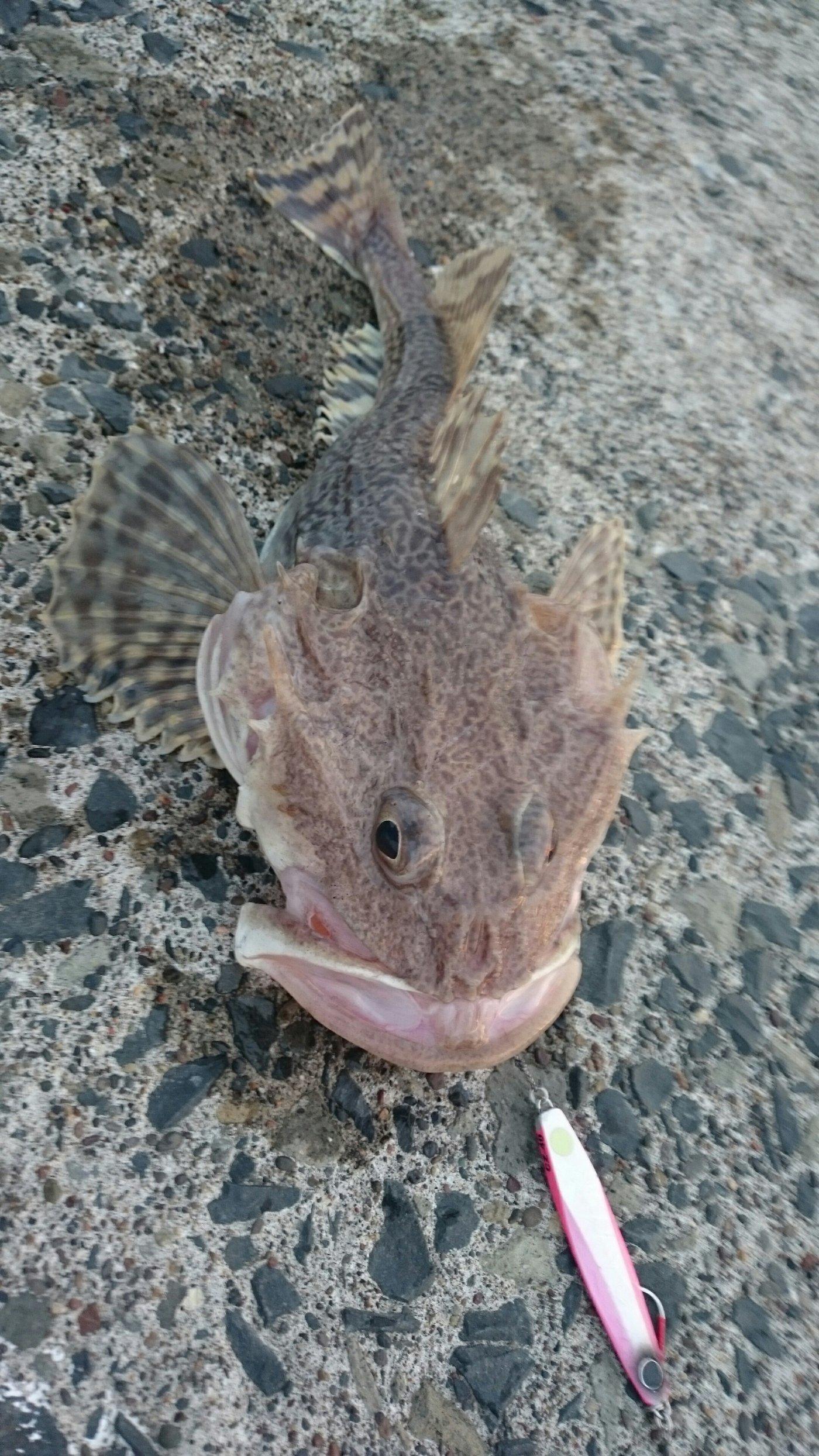 ちゅーだいさんの投稿画像,写っている魚はオクカジカ