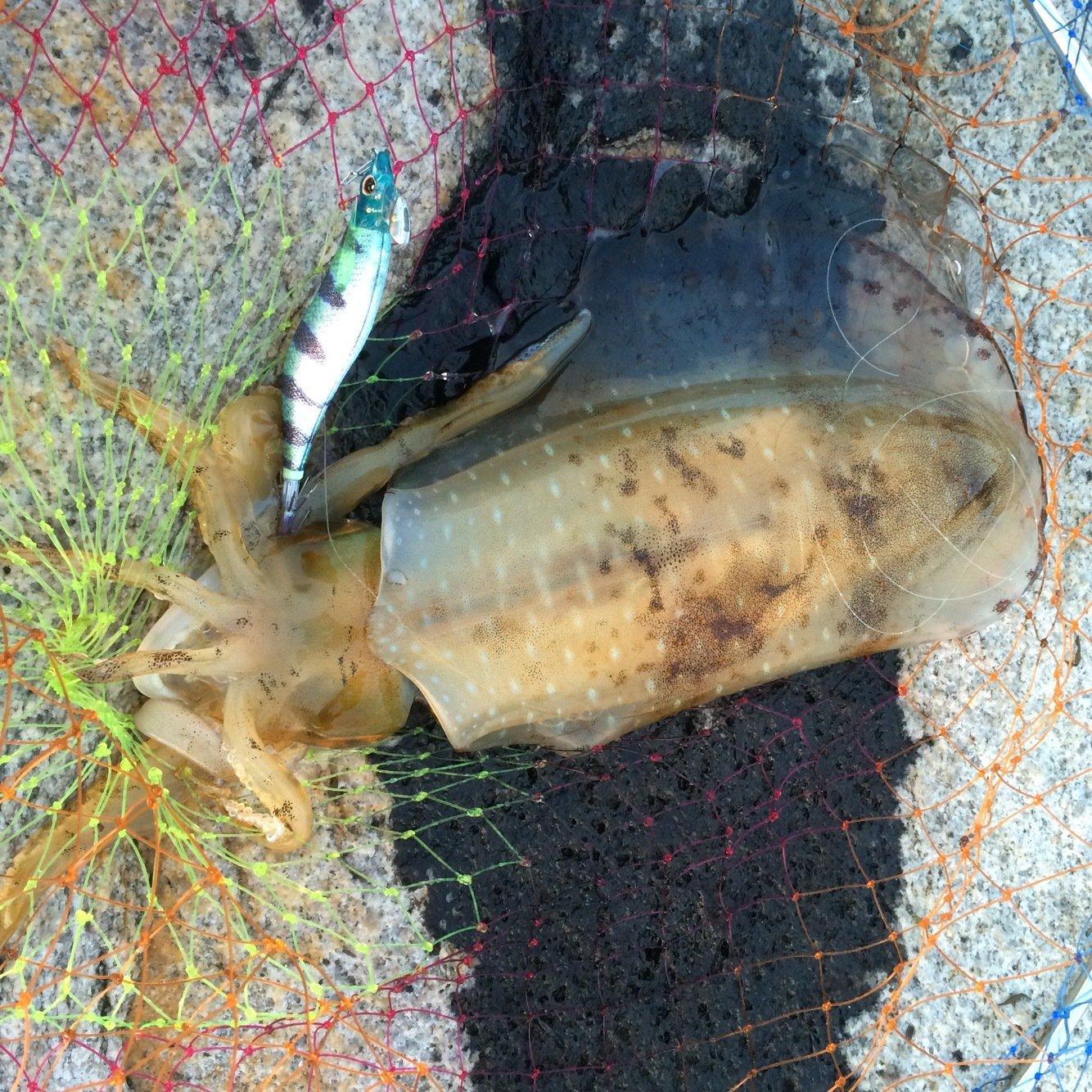 大介さんの投稿画像,写っている魚はアオリイカ