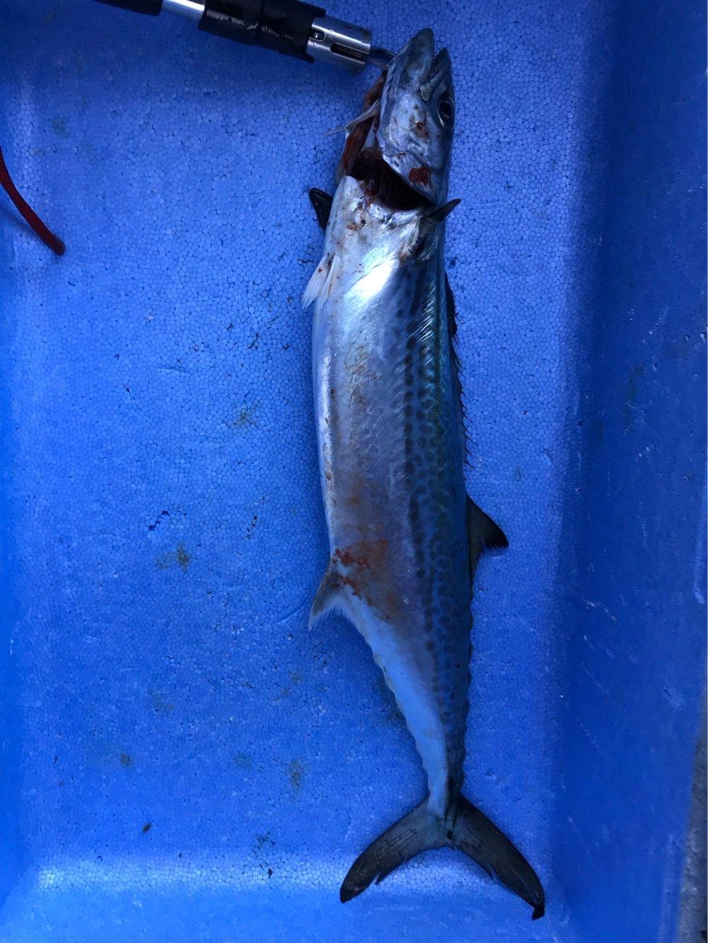 Furious Templarさんの投稿画像,写っている魚はサワラ