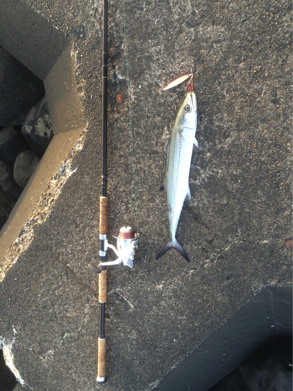 nさんの投稿画像,写っている魚はサワラ