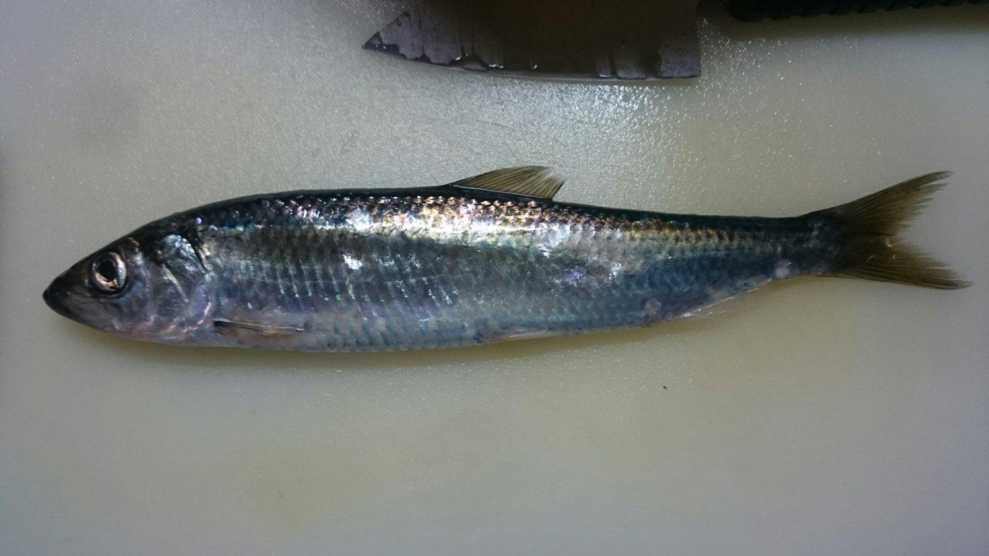 kaoさんの投稿画像,写っている魚はニシン