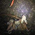 25番さんの愛媛県松山市でのマダコの釣果写真