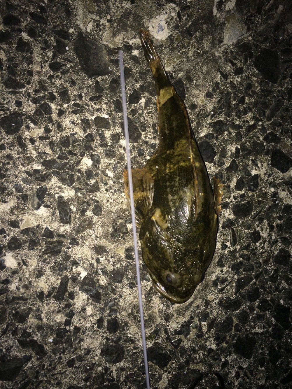 とんびさんの投稿画像,写っている魚は