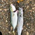 勇儀さんの大阪府摂津市での釣果写真