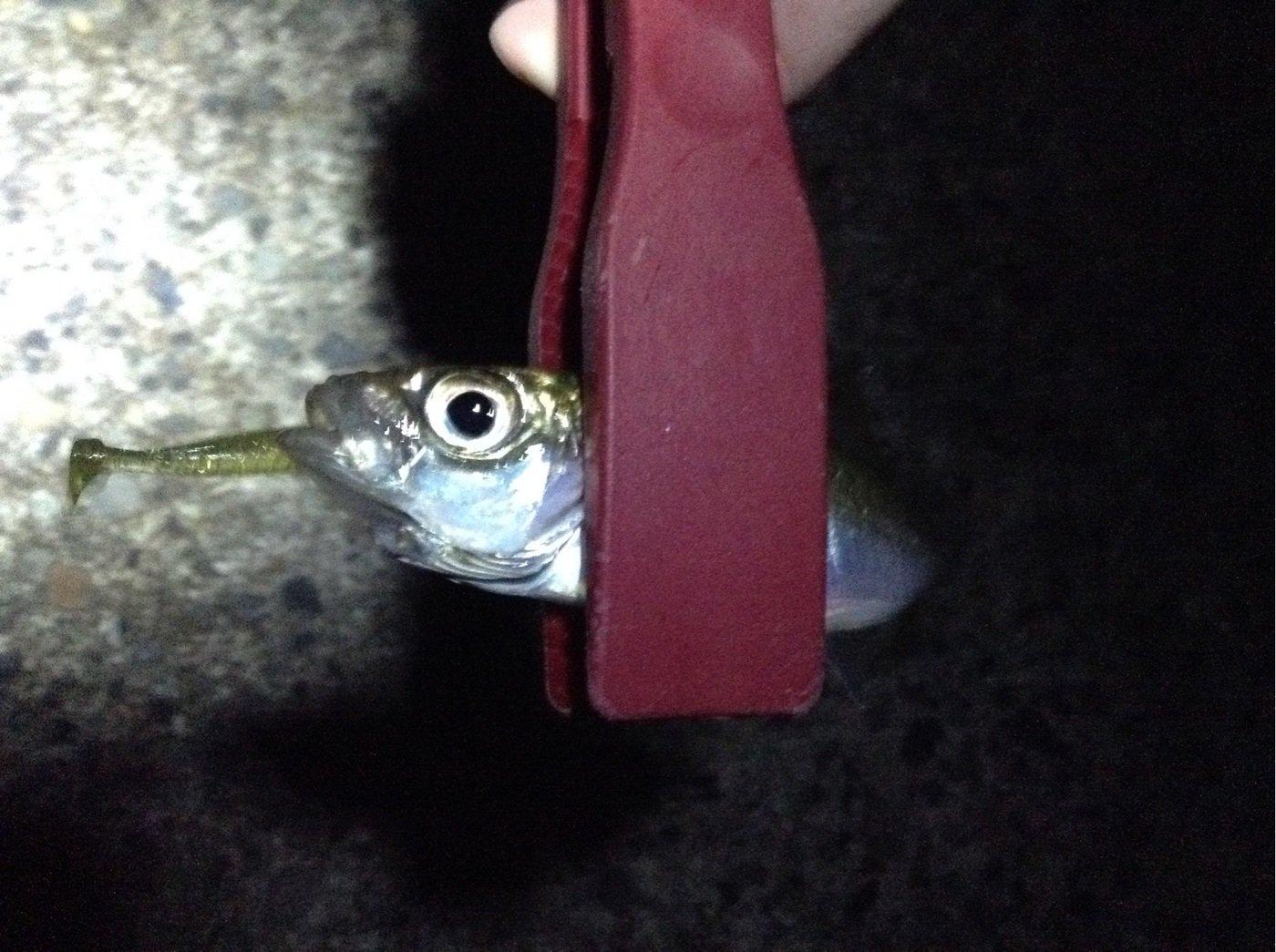 マツさんの投稿画像,写っている魚はアジ