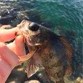 Yuuuuuuukiさんの福岡県でのキュウセンの釣果写真