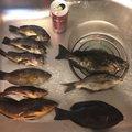 しょーさんの兵庫県伊丹市での釣果写真