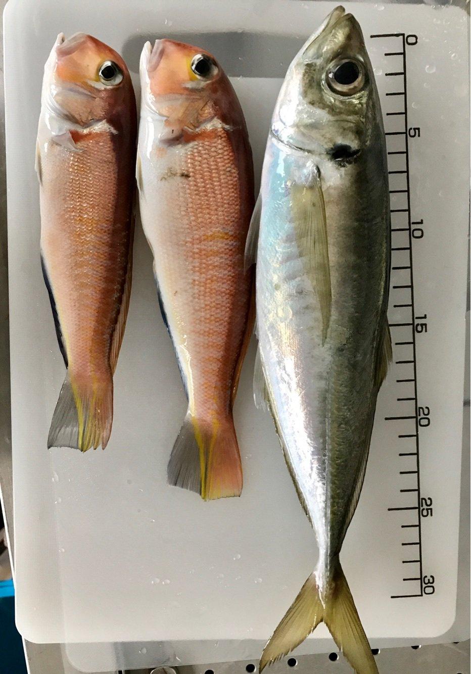 いこさんの投稿画像,写っている魚はアジ,アマダイ,トラギス,ガンゾウビラメ