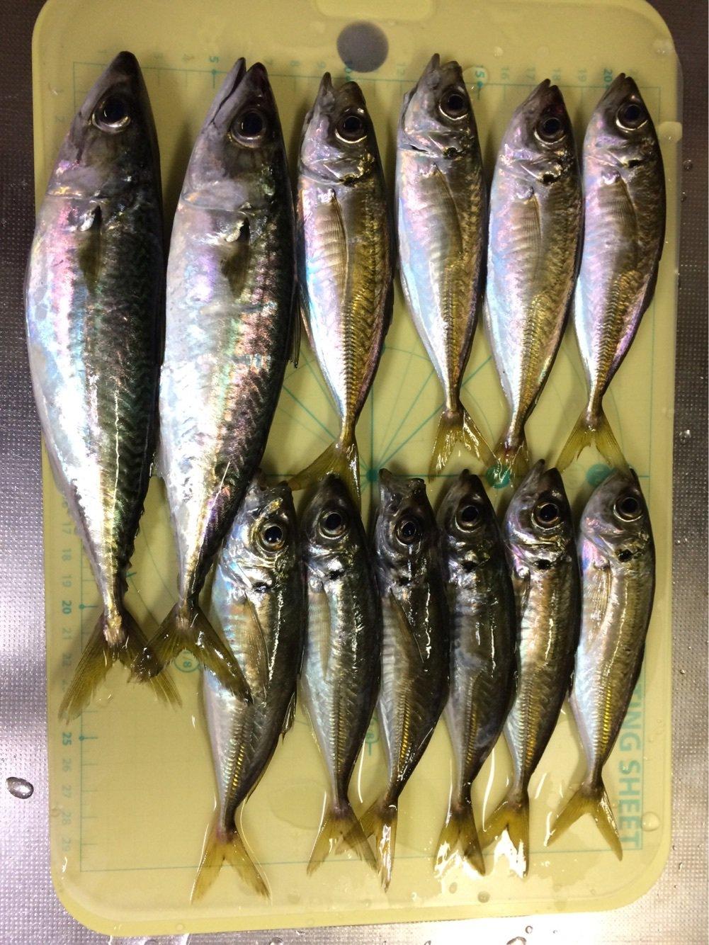 バーンズさんの投稿画像,写っている魚はアジ,マサバ