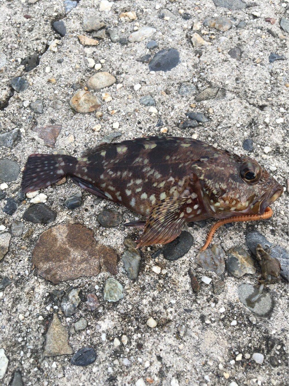 ヤマヤマさんの投稿画像,写っている魚はメバル