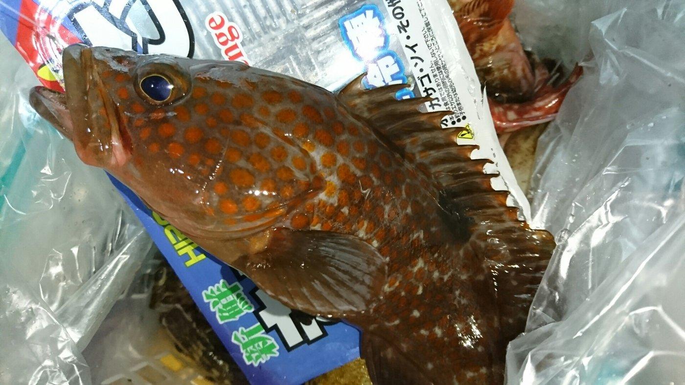 貴くんさんの投稿画像,写っている魚はキジハタ