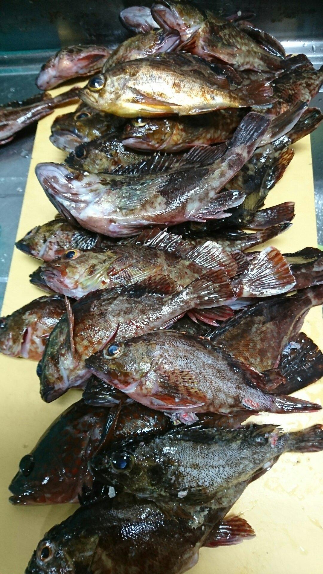 貴くんさんの投稿画像,写っている魚はカサゴ,キジハタ