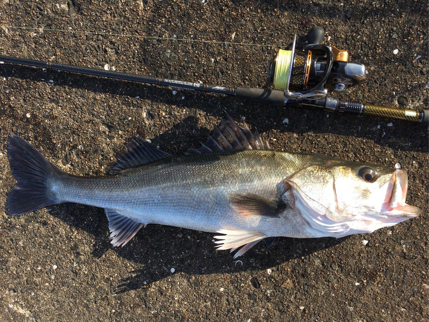 すうさんの投稿画像,写っている魚はスズキ,コノシロ