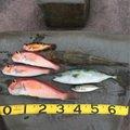 りゅうさんの青森県西津軽郡でのメバルの釣果写真
