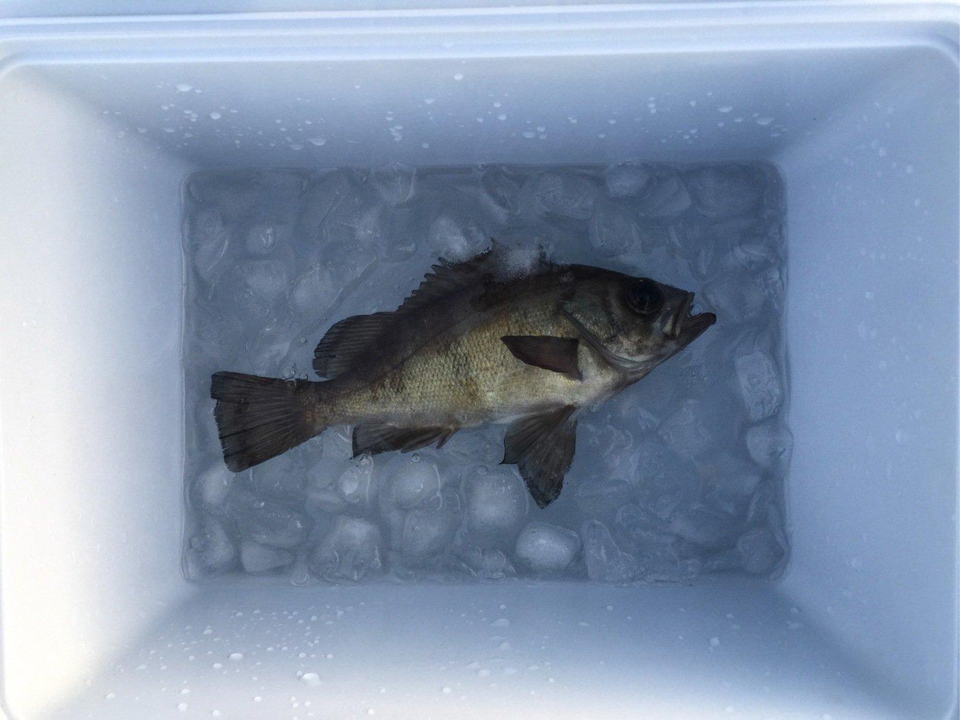 レオさんの投稿画像,写っている魚はメバル