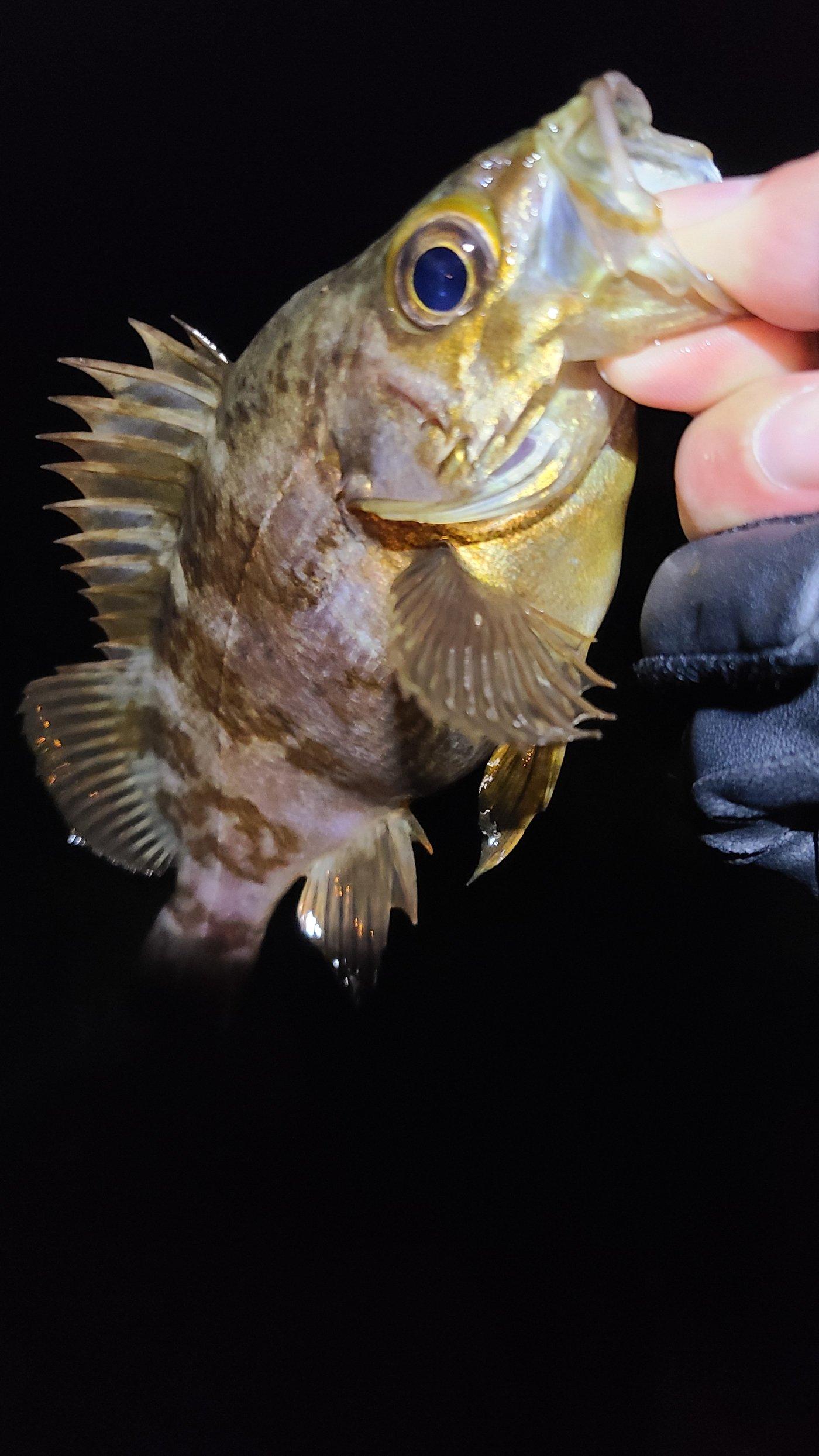 表層ただ巻きさんの投稿画像,写っている魚はメバル