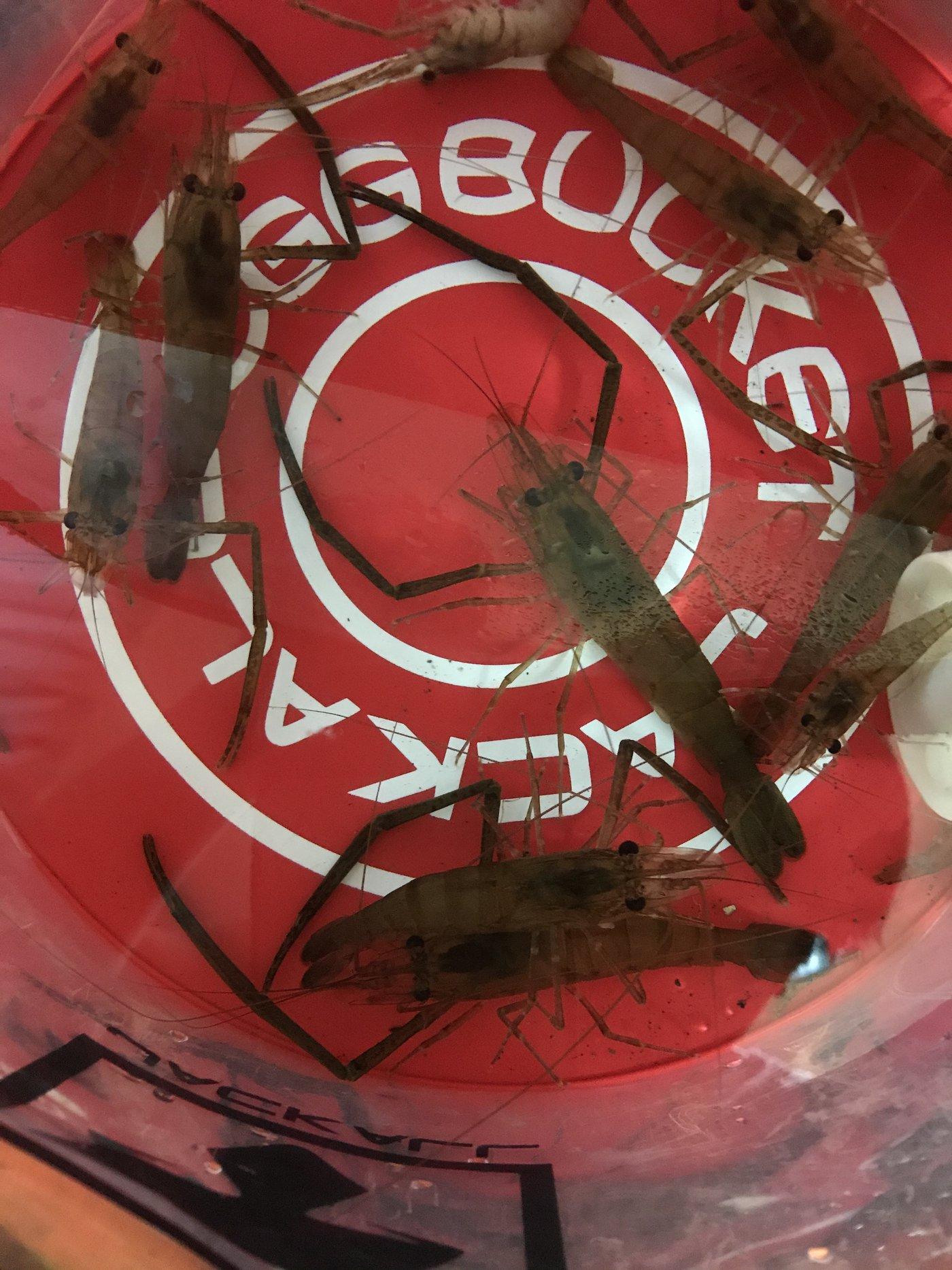 健太郎さんの投稿画像,写っている魚はテナガエビ