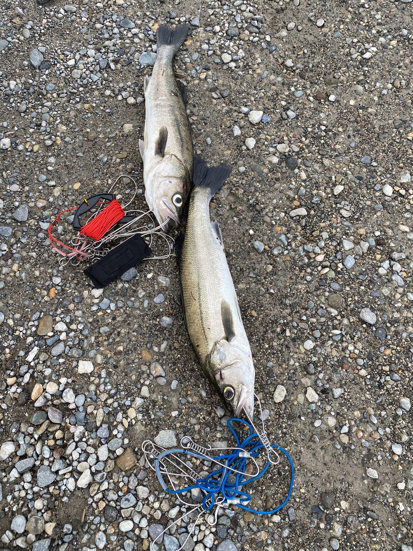 ダイゴローさんの投稿画像,写っている魚はスズキ
